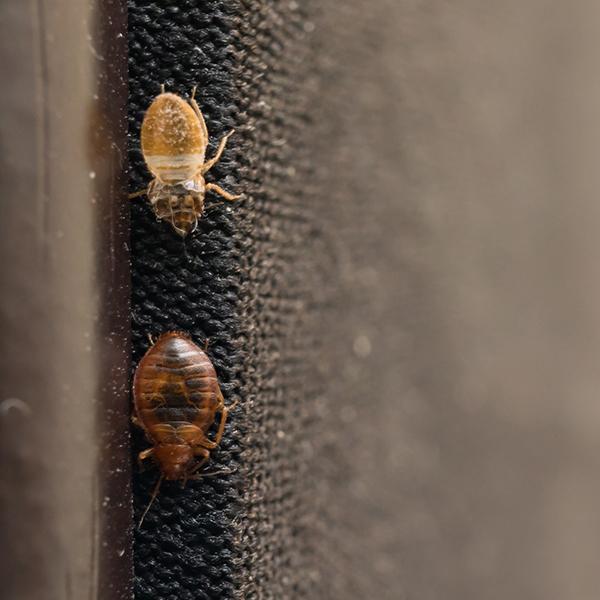 Nuisibles Insectes et Acariens
